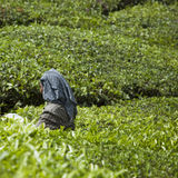 MUNNAR, ÍNDIA - 16 DE DEZEMBRO DE 2015: Folhas de chá da colheita da mulher dentro Fotos de Stock