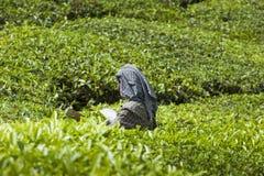MUNNAR, ÍNDIA - 16 DE DEZEMBRO DE 2015: Folhas de chá da colheita da mulher dentro Fotos de Stock Royalty Free