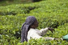 MUNNAR, ИНДИЯ - 16-ОЕ ДЕКАБРЯ 2015: Листья чая рудоразборки женщины внутри Стоковое Изображение