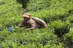MUNNAR, ИНДИЯ - 16-ОЕ ДЕКАБРЯ 2015: Листья чая рудоразборки женщины внутри Стоковые Фото