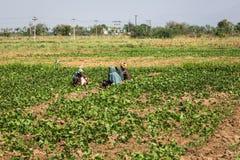 MUNNAR, ИНДИЯ 17-ОЕ ФЕВРАЛЯ: Индийский работник 17-ого февраля 2013 внутри Стоковая Фотография