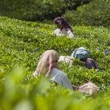 MUNNAR, INDE - 16 DÉCEMBRE 2015 : Feuilles de thé de cueillette de femme dedans Image libre de droits