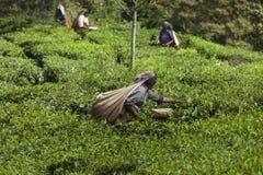 MUNNAR, INDE - 16 DÉCEMBRE 2015 : Feuilles de thé de cueillette de femme dedans Image stock