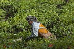 MUNNAR, INDE - 16 DÉCEMBRE 2015 : Feuilles de thé de cueillette de femme dedans Photos stock