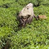 MUNNAR, INDE - 16 DÉCEMBRE 2015 : Feuilles de thé de cueillette de femme dedans Photo libre de droits
