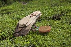 MUNNAR, INDE - 16 DÉCEMBRE 2015 : Feuilles de thé de cueillette de femme dedans Photographie stock