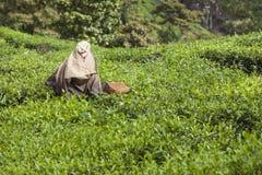 MUNNAR, INDE - 16 DÉCEMBRE 2015 : Feuilles de thé de cueillette de femme dedans Photographie stock libre de droits