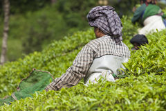 MUNNAR, INDIA - DECEMBER 16, 2015 : Woman picking tea leaves in Royalty Free Stock Photo