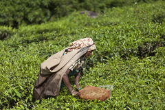 MUNNAR, INDIA - DECEMBER 16, 2015 : Woman picking tea leaves in Royalty Free Stock Images