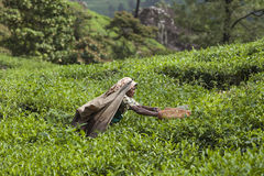MUNNAR, INDIA - DECEMBER 16, 2015 : Woman picking tea leaves in Stock Photography