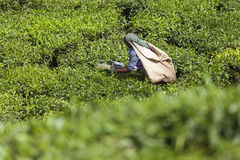 MUNNAR, INDIA - DECEMBER 16, 2015 : Woman picking tea leaves in Royalty Free Stock Photos