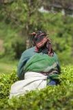 MUNNAR, INDIA - 16 DICEMBRE 2015: Foglie di tè di raccolto della donna dentro Immagini Stock Libere da Diritti