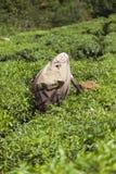 MUNNAR, INDIA - 16 DICEMBRE 2015: Foglie di tè di raccolto della donna dentro Fotografie Stock Libere da Diritti