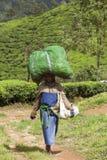 MUNNAR, INDIA - 16 DICEMBRE 2015: Foglie di tè di raccolto della donna dentro Fotografie Stock