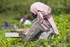 MUNNAR, INDIA - 16 DICEMBRE 2015: Foglie di tè di raccolto della donna dentro Immagini Stock