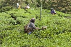 MUNNAR, INDIA - 16 DICEMBRE 2015: Foglie di tè di raccolto della donna dentro Fotografia Stock Libera da Diritti