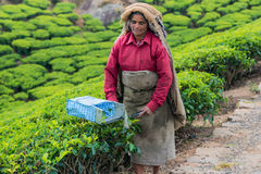 MUNNAR, INDIA - FEBRUARI 18, 2013: Een niet geïdentificeerde Indische vrouw Stock Foto's