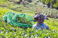 Tea picker working in tea plantation in Munnar, Kerala, South In. MUNNAR, INDIA - JANUARY 18, 2016: Female tea picker working in tea plantation in Munnar, Kerala Royalty Free Stock Photo