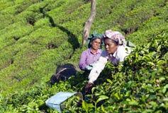 Tea picker working in tea plantation in Munnar, Kerala, South In. MUNNAR, INDIA - JANUARY 18, 2016: Female tea pickers working in tea plantation in Munnar royalty free stock images
