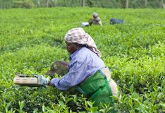 Tea picker woman, India. MUNNAR, INDIA - NOVEMBER 14, 2016: Tea picker woman working in tea plantation in Munnar, Kerala, South India. Only uppermost leaves are Stock Image