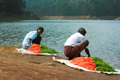 MUNNAR, KERALA, INDIA - 08 JAN 2015: Local people wash carrots on the lakeside Kundala Dam Lake  in Munnar, January 8, 2015. Royalty Free Stock Photos