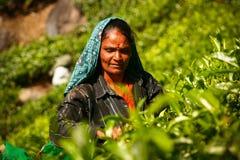 MUNNAR, KERALA, INDIA - 08 JANUARI 2015: De vrouwelijke theeplukker is op theeaanplanting in Munnar, 8 Januari, 2015 Royalty-vrije Stock Foto's