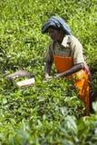 MUNNAR, LA INDIA - 16 DE DICIEMBRE DE 2015: Hojas de té de la cosecha de la mujer adentro Imagen de archivo