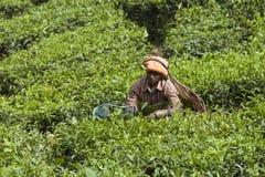 MUNNAR, LA INDIA - 16 DE DICIEMBRE DE 2015: Hojas de té de la cosecha de la mujer adentro Imagenes de archivo