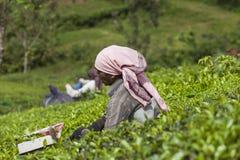 MUNNAR, LA INDIA - 16 DE DICIEMBRE DE 2015: Hojas de té de la cosecha de la mujer adentro Imagen de archivo libre de regalías