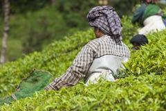 MUNNAR, LA INDIA - 16 DE DICIEMBRE DE 2015: Hojas de té de la cosecha de la mujer adentro Foto de archivo libre de regalías
