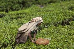 MUNNAR, LA INDIA - 16 DE DICIEMBRE DE 2015: Hojas de té de la cosecha de la mujer adentro Imágenes de archivo libres de regalías