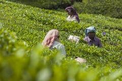 MUNNAR, LA INDIA - 16 DE DICIEMBRE DE 2015: Hojas de té de la cosecha de la mujer adentro Fotografía de archivo