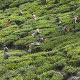 MUNNAR, LA INDIA - 16 DE DICIEMBRE DE 2015: Hojas de té de la cosecha de la mujer adentro Fotos de archivo
