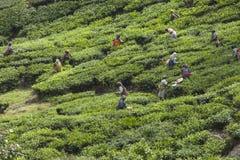 MUNNAR, LA INDIA - 16 DE DICIEMBRE DE 2015: Hojas de té de la cosecha de la mujer adentro Foto de archivo
