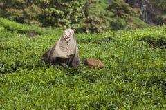 MUNNAR, LA INDIA - 16 DE DICIEMBRE DE 2015: Hojas de té de la cosecha de la mujer adentro Fotos de archivo libres de regalías