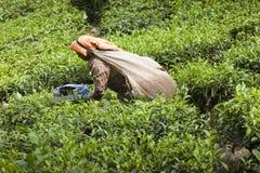 MUNNAR, LA INDIA - 16 DE DICIEMBRE DE 2015: Hojas de té de la cosecha de la mujer adentro Fotografía de archivo libre de regalías