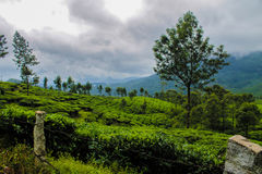 Munnar Tea plantation Royalty Free Stock Photography