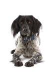 Munsterlander dog Royalty Free Stock Photography
