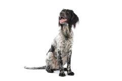 Munsterlander dog Royalty Free Stock Image