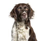 Munsterlander dog , 1 year old, against white background. Isolated on white Royalty Free Stock Photo
