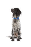 Munsterlander hunting dog Royalty Free Stock Image