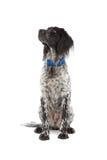 Munsterlander hunting dog Royalty Free Stock Image