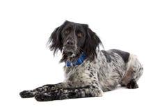 Munsterlander hunting dog Stock Image