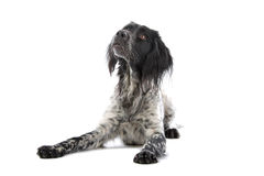 Munsterlander hunting dog Stock Image