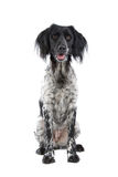Munsterlander hunting dog Stock Photography