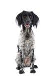 Munsterlander hunting dog Stock Photography