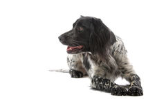 Munsterlander hunting dog Royalty Free Stock Photo