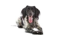 Munsterlander hunting dog Royalty Free Stock Photos