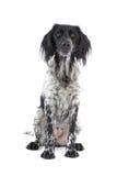 Munsterlander hunting dog Stock Photo