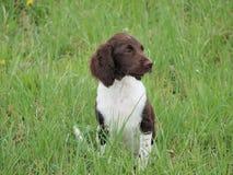 Munsterlander puppy, South Bohemia. Czech Republic Royalty Free Stock Photo